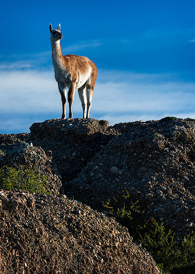 Vicuna in Torres del Paine National Park